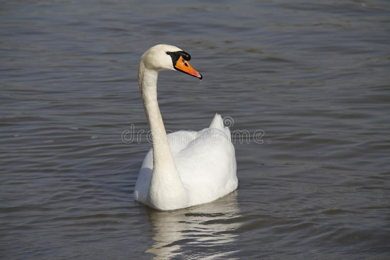 A young swan swims calmly on the water. Swan mute water white bird cygnus swans lake nature pond olor wildlife reflection river beautiful animal waterfowl wild royalty free stock images