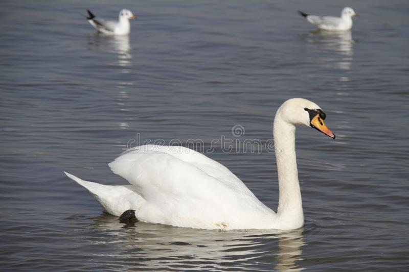 A young swan swims calmly on the water. Swan mute water white bird cygnus swans lake nature pond olor wildlife reflection river beautiful animal waterfowl wild stock image