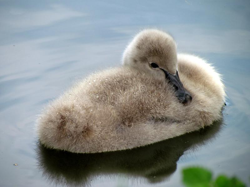 Young swan on water surface. Cygnet resting in a pond. Cute bird baby stock photo