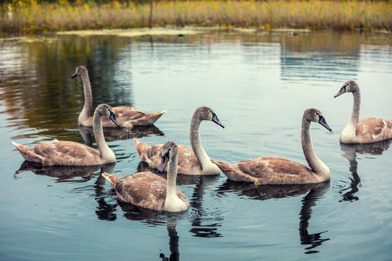 Six cygnets swim in the pond. Young swans cygnet swimming in a pond. Six cygnets swim in the pond royalty free stock image