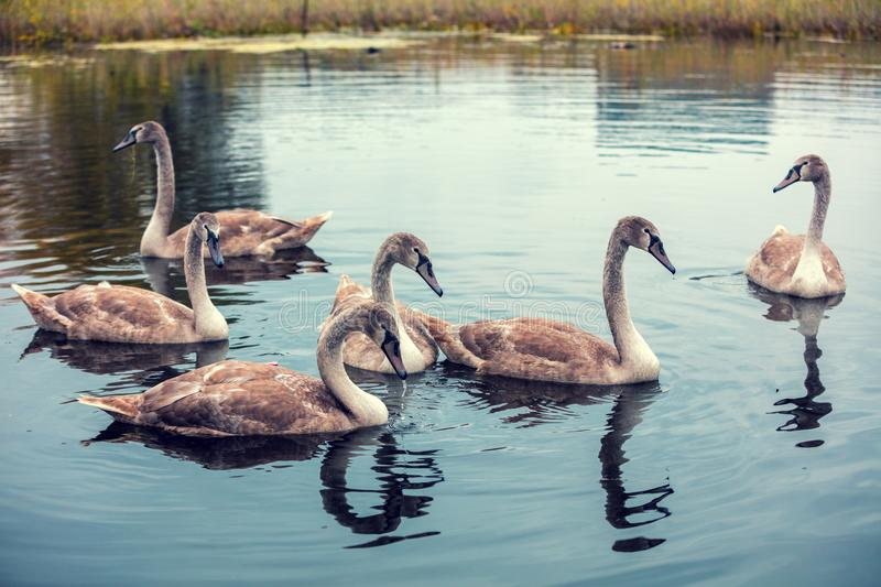 Young swans swimming in a pond. Six cygnets in the pond stock images