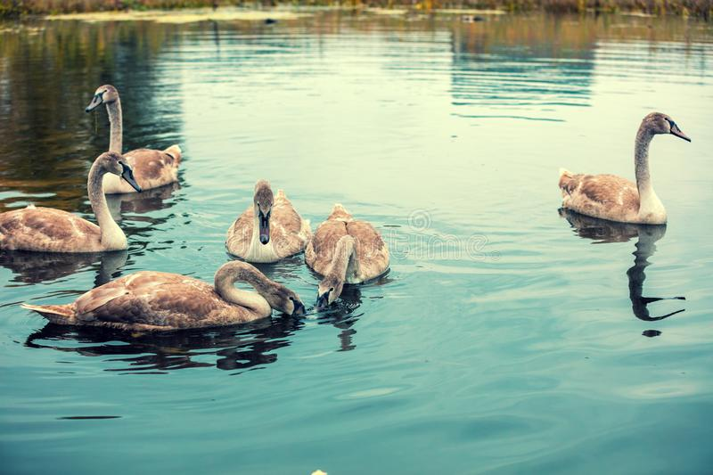 Young swans swimming in a pond. Six cygnets swim in the lake stock photos