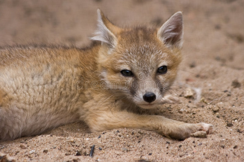 Young swift fox looking. Young swift fox resting and looking curious stock image