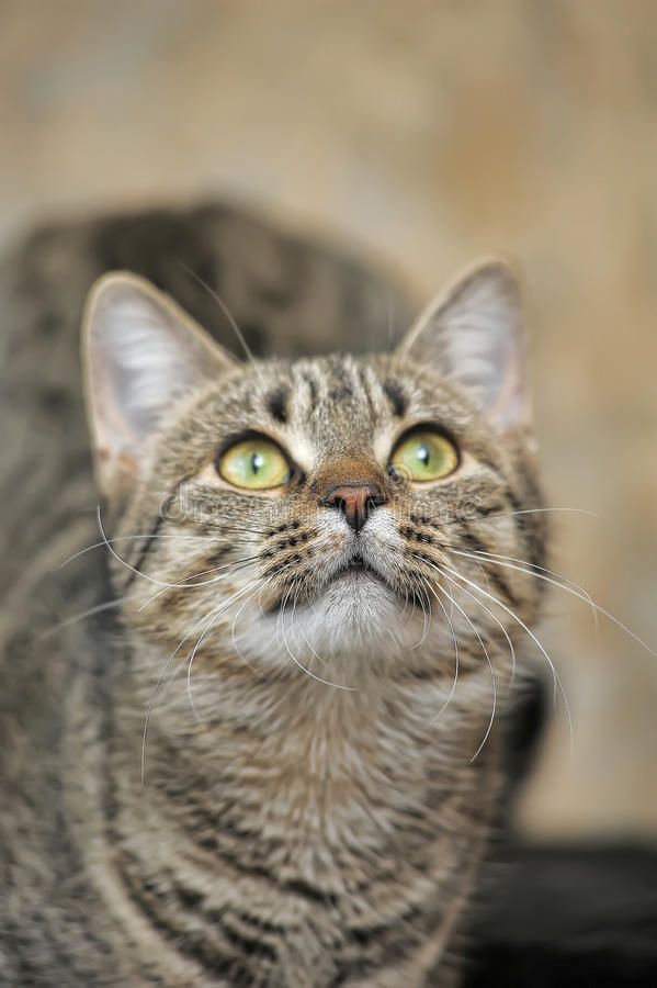 Young tabby cat portrait royalty free stock photos