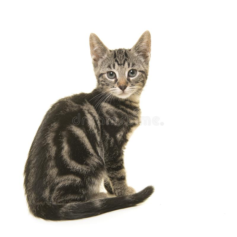 Young tabby cat seen from the side looking over its shoulder at royalty free stock photo