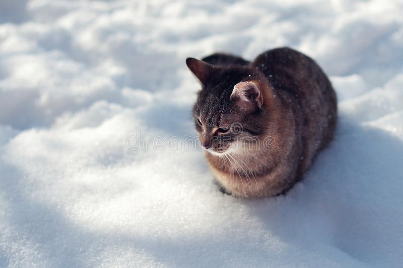Young tabby cat in winter on snow, sunny day royalty free stock images