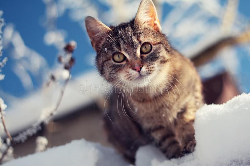 Young tabby cat in winter on snow, sunny day stock images