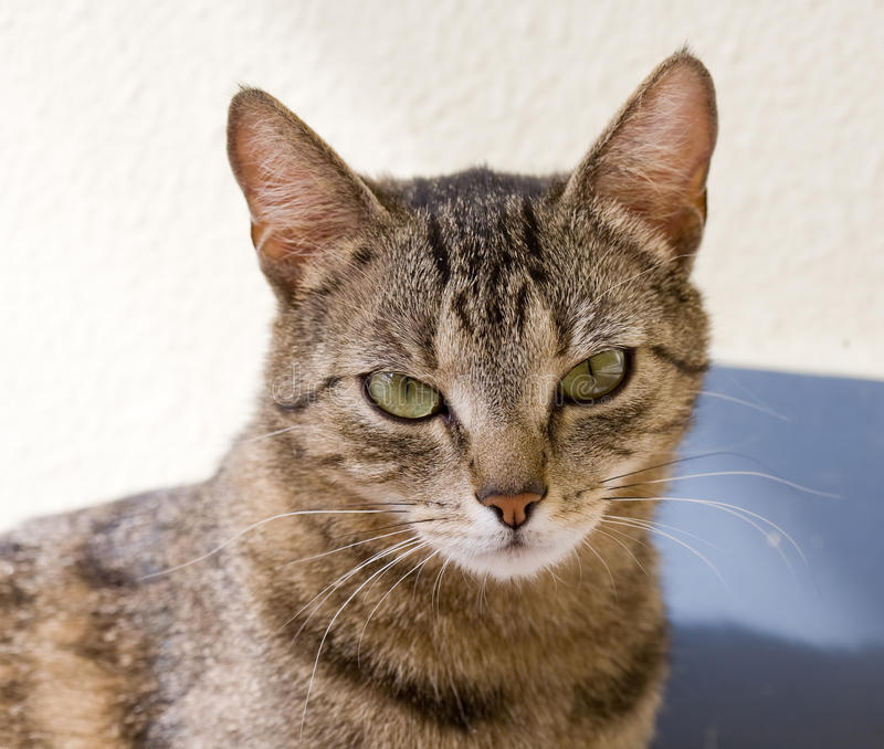 Young tabby female housecat. Portrait of relaxed looking young female tabby housecat royalty free stock images