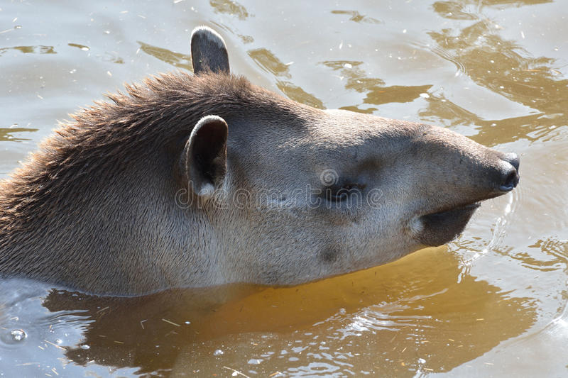 Young Tapir swimming. In dirty water stock image