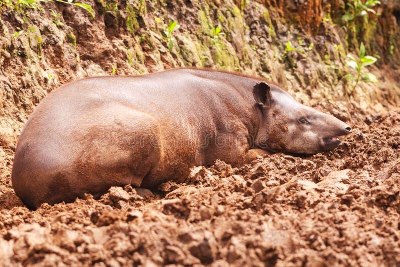 Reddish Brown Female Tapir stock image
