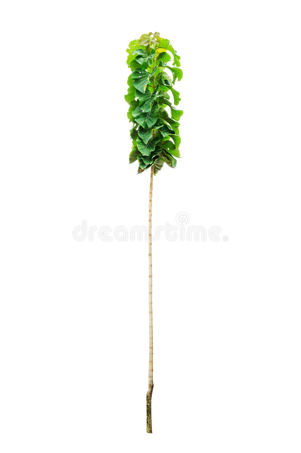 Young teak tree. Isolated on white background royalty free stock images