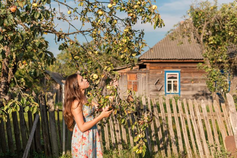 A young maiden woman in a summer retro dress in the rays of sunrise holds a branch of an apple tree in her hands and look in bliss. A young teen girl in a summer stock images