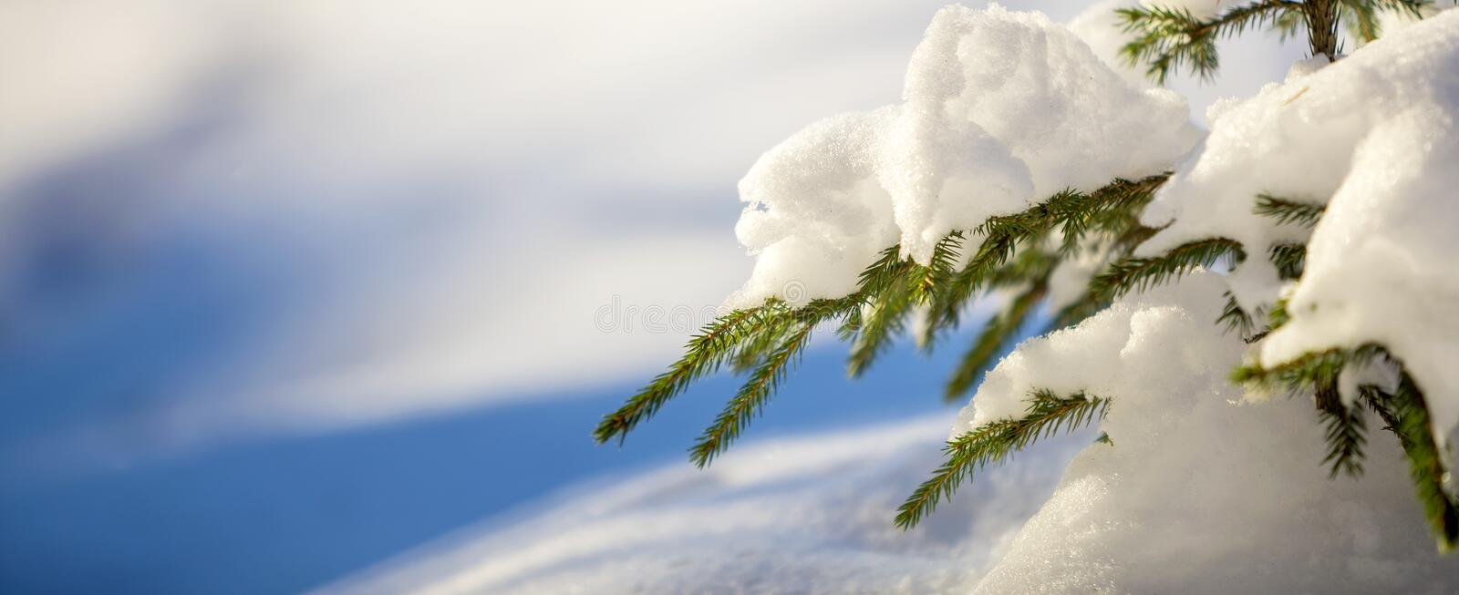 Young tender spruce tree brunches with green needles covered with deep snow and hoarfrost on bright blue and white colorful copy royalty free stock image
