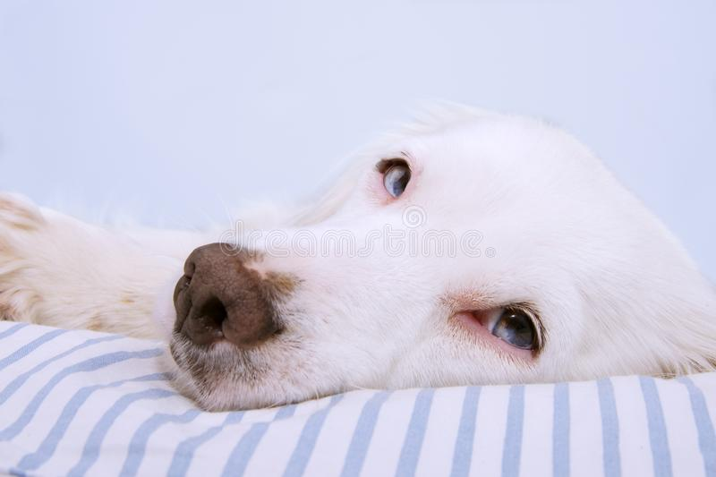 YOUNG TERRIER DOG WITH BLUE EYES FALLING ASLEEP ON STRIPPED BED. SICK,SAD OR RELAXING CONCEPT.  royalty free stock image
