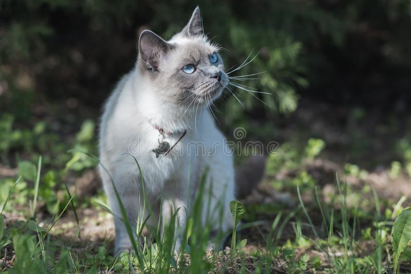 Young Thai breed cat on grass on a summer sunny day at partial shade. Cat looks up with blue eyes from left to top royalty free stock photos