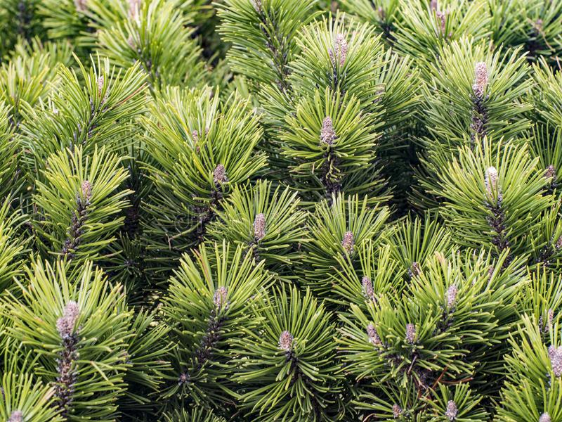 Young thick shoots of pine. Bokeh nature branches pinus canariensis backdrop shallow dof endemic needles new beautiful immature copy space nobody natural royalty free stock photo
