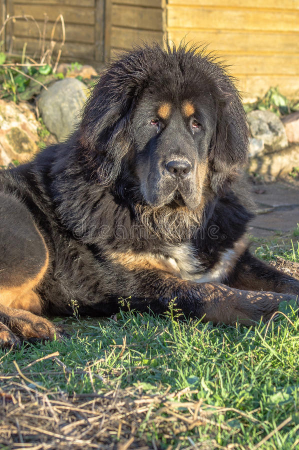 Young Tibetan Mastiff. stock image