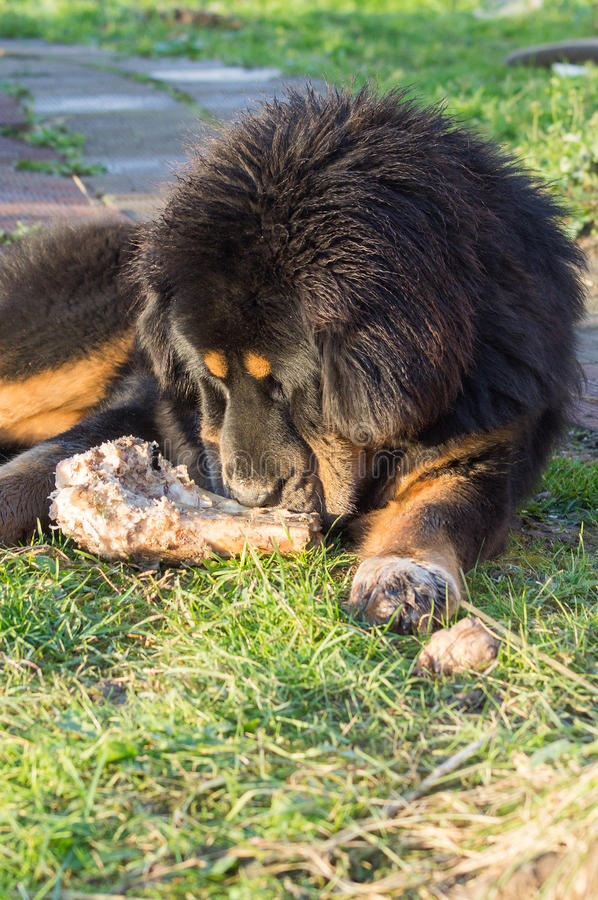 Young Tibetan Mastiff. royalty free stock photography