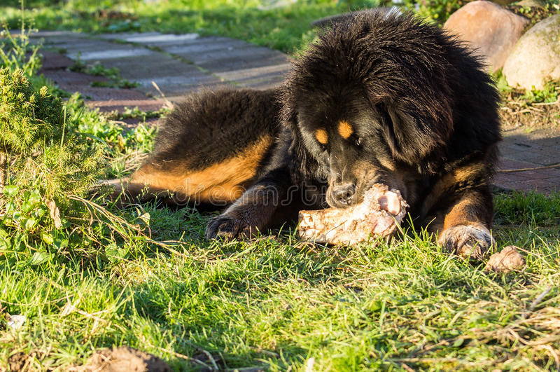 Young Tibetan Mastiff. stock photos