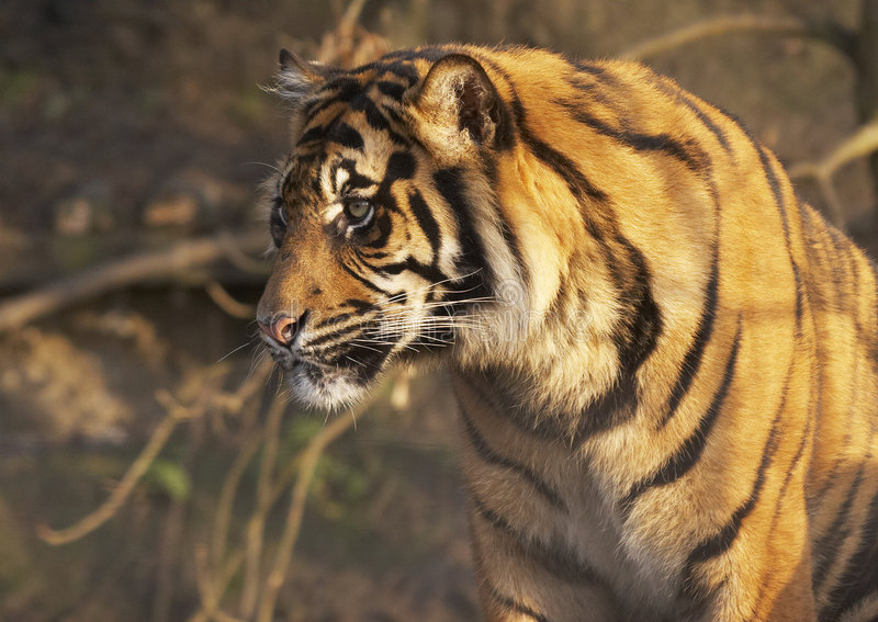 Young Tiger stock photo