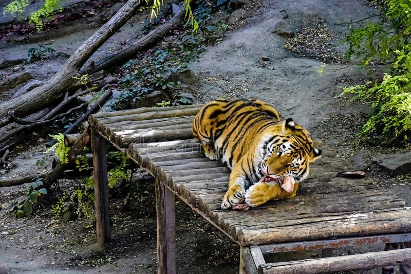Young tiger gnaws big bone and looks into the frame. Large wild cat snuggled up on a wooden bridge among the trees. Close-up stock photos