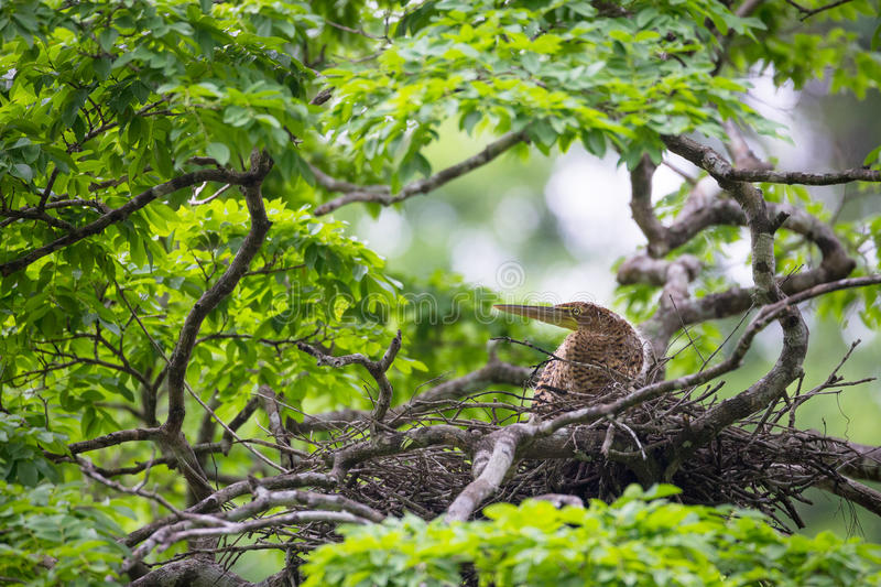 Young tiger heron in treetop nest royalty free stock images