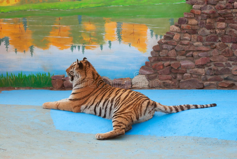 Young tiger rests