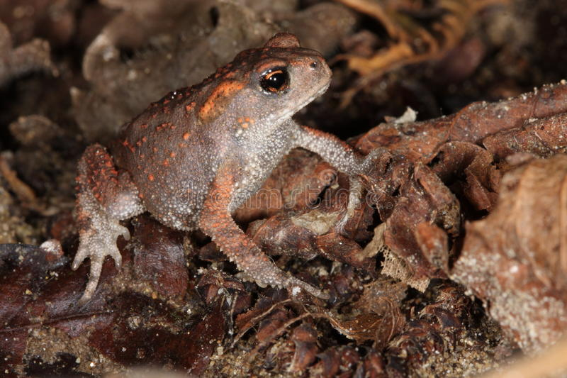 Download Young toad stock image. Image of european, rospo, bufo - 26667713
