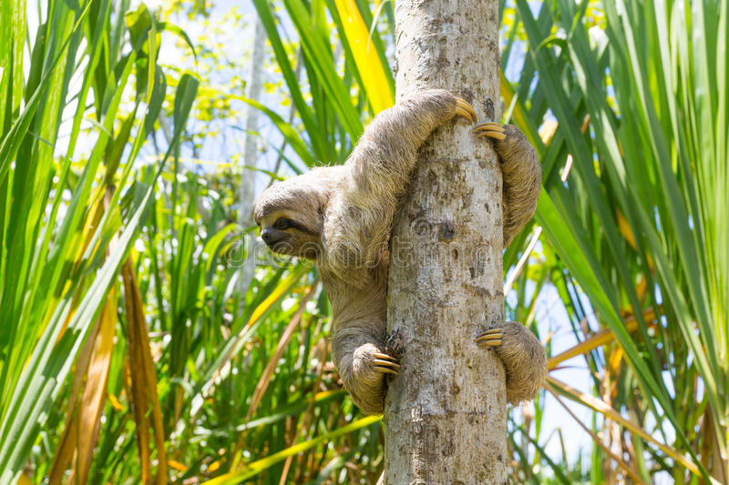 Young 3 Toed Sloth in its natural habitat. Amazon River, Peru. 3 toed sloth (Bradypus variegatus) found in the peruvian amazon river area. It is a endangered royalty free stock photos