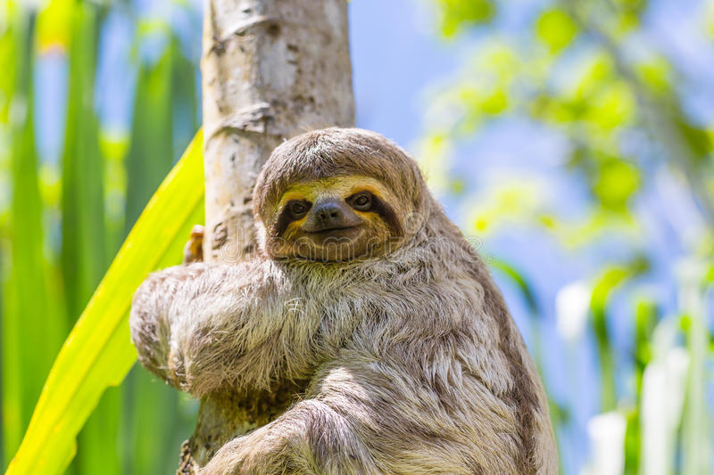 Young 3 Toed Sloth in its natural habitat. Amazon River, Peru stock photography