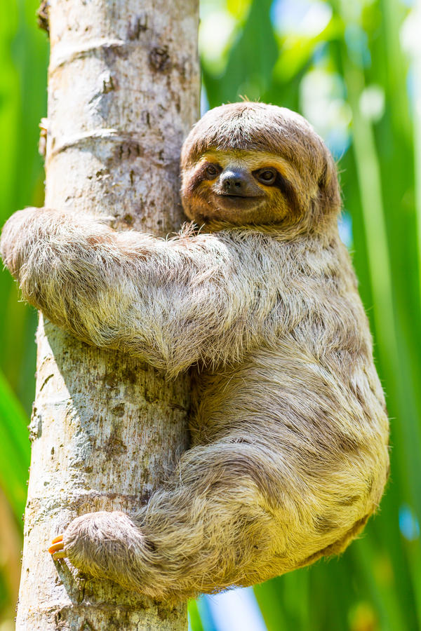 Young 3 Toed Sloth in its natural habitat. Amazon River, Peru. 3 toed sloth (Bradypus variegatus) found in the peruvian amazon river area. It is a endangered stock images