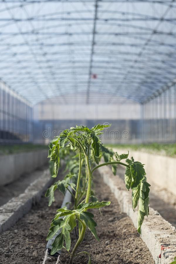 Young Tomato Plants In A Greenhouse Stock Image - Image of