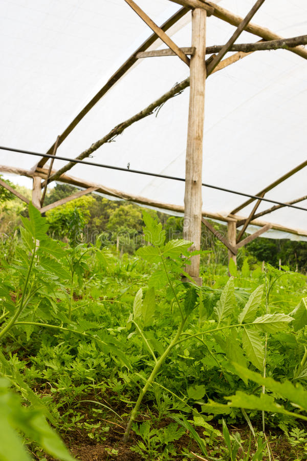 Young tomato plant growing in a very simple plant nursery greenhouse. Directly on the ground stock images