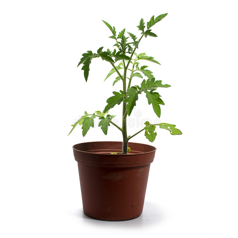 Young tomato plant in a pot isolated on a white background. Young tomato plant, seedling grown in a pot and now ready for planting in the vegetable garden royalty free stock image
