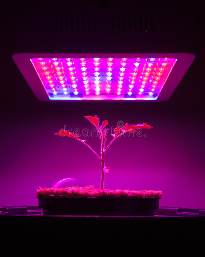 Young tomato plant under LED grow light stock image