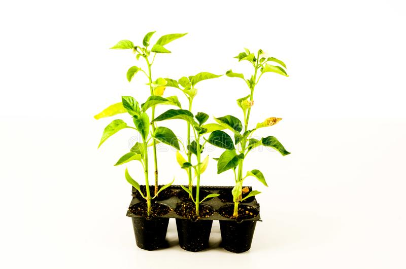 Young tomato plant. On a white background royalty free stock images