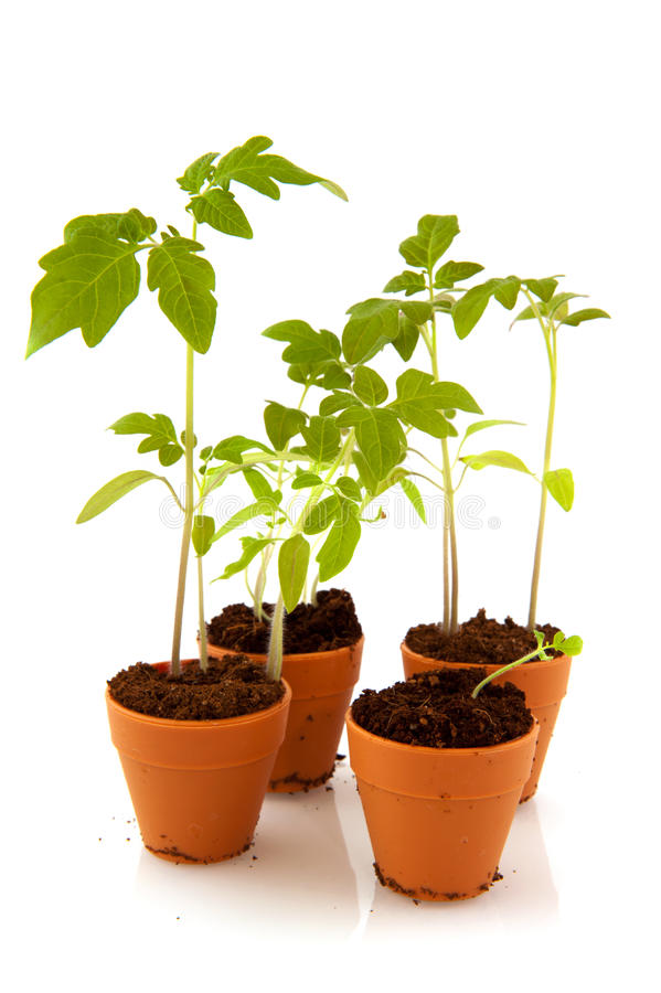 Free Young Tomato Plants Royalty Free Stock Photo - 17223295