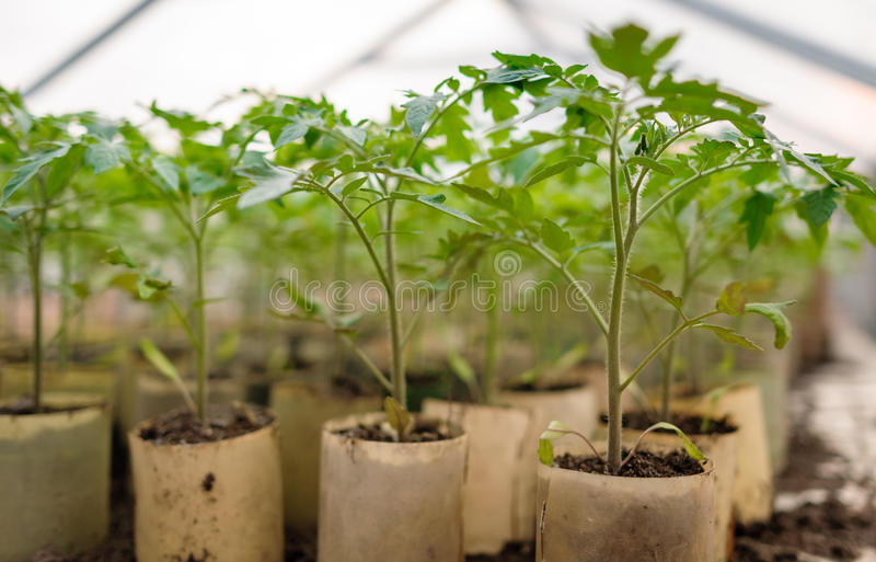Young tomato plants in pots stock photo image of for Soil young s modulus