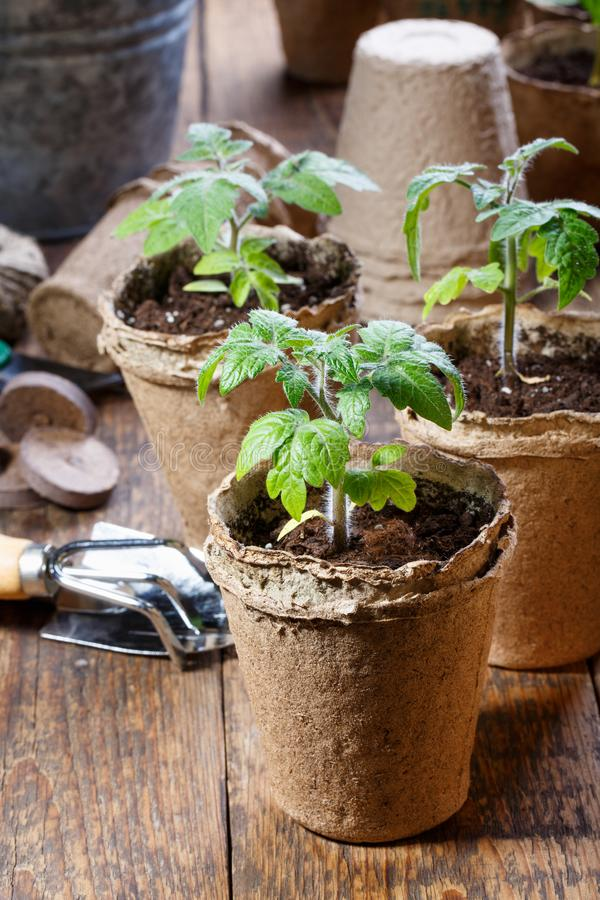 Young tomato seedling sprouts in the peat pots. Gardening concept stock images