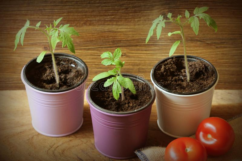 Young tomato seedlings growing in pots on wooden backdround. Gardening concept.  stock photo