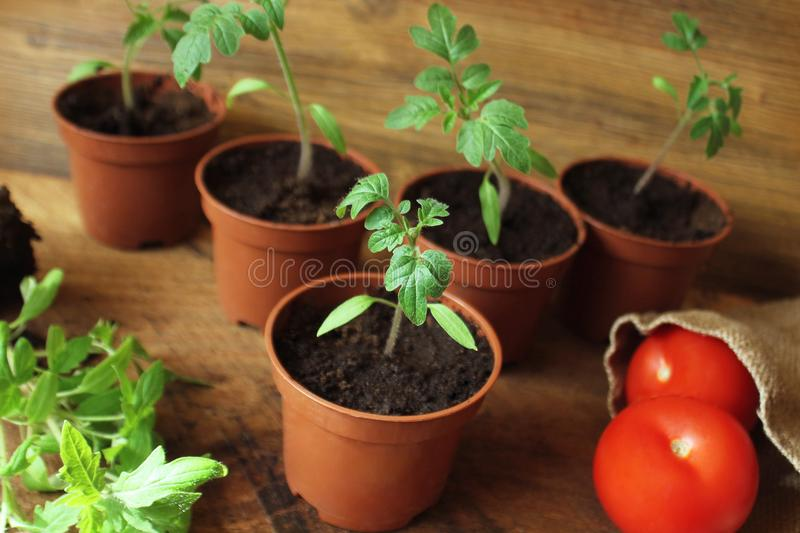 Young tomato seedlings on wooden backdround. Gardening concept. Young tomato seedlings and red tomatoes on wooden backdround. Gardening concept stock images