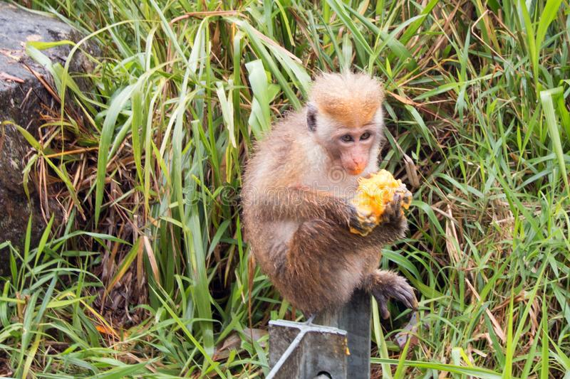 Young Toque Macaque Monkey feeding on a mango at roadside in upcountry Sri Lanka stock photography