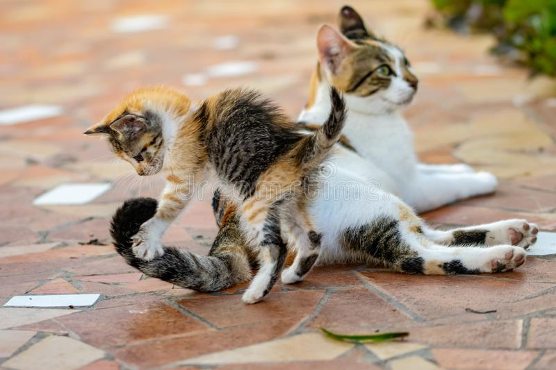Young tortoieshell calico kitten cat pouncing on tail on female adult cat stock images