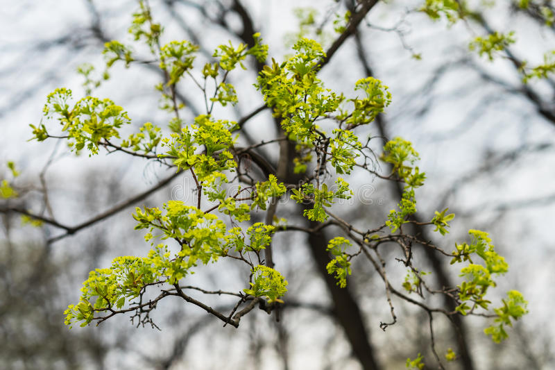 Young tree branches close-up, concept of early spring, seasons, weather. Modern natural wallpaper or banner design royalty free stock photos