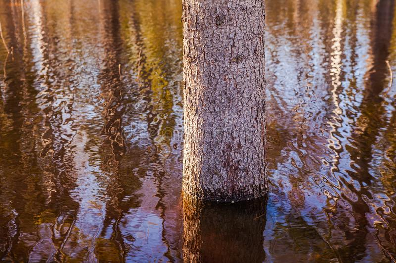 Young tree in the center of a large puddle, flooded area stock photos