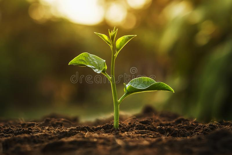 young tree growing in garden with sunrise. eco concept earth royalty free stock photo