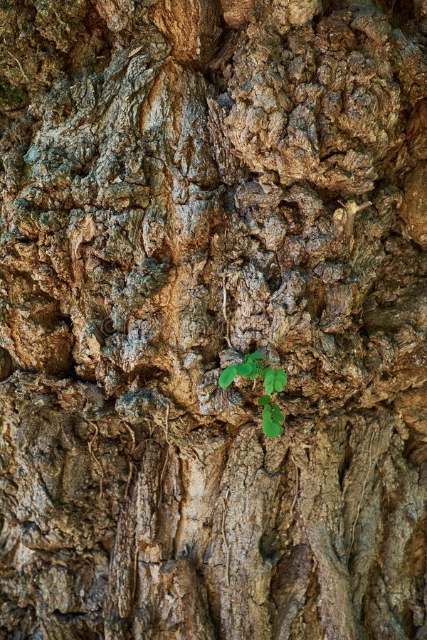A young tree growing on middle the tree trunk and bark background .new leaf on tree . Sapling Sprout on middle the tree trunk..Gro royalty free stock photography