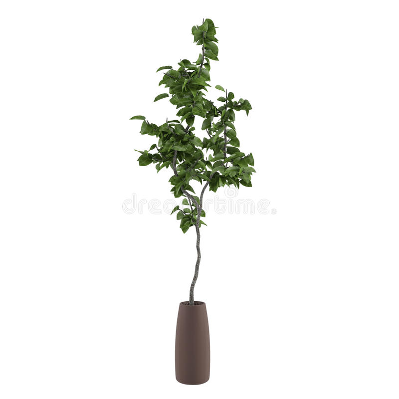 Young Tree In The Pot Isolated Stock Image