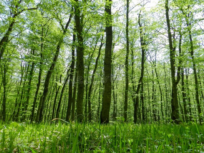 Young trees in the spring forest royalty free stock photography