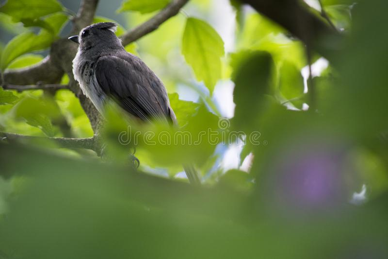 Young tufted titmouse deep in a tree. An immature tufted titmouse perched deep in a bush awaits a parent to feed it royalty free stock photo